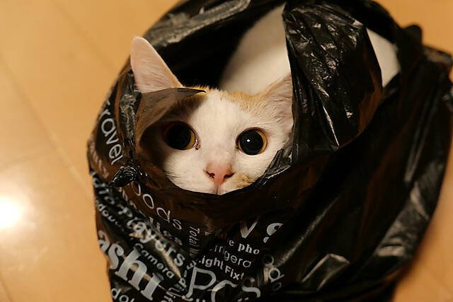 袋が好きすぎる猫